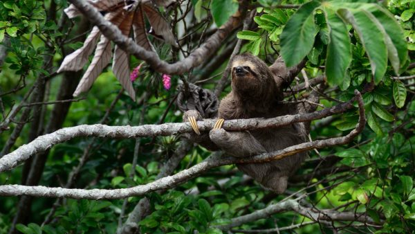 Costa Rica: Brown-throated Three-toed Sloth