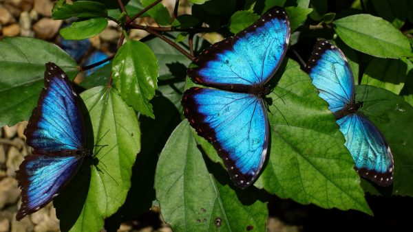 Costa Rica: Blue Morpho
