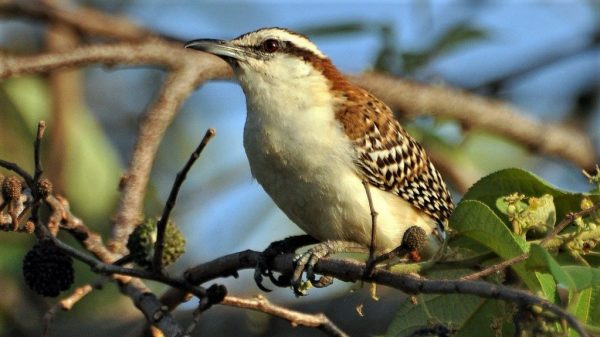 Costa Rica: Rufous-naped Wren