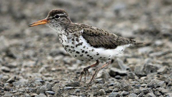 Costa Rica: Spotted Sandpiper