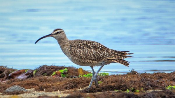 Costa Rica: Whimbrel