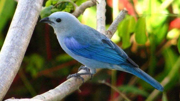 Costa Rica: Blue-gray Tanager