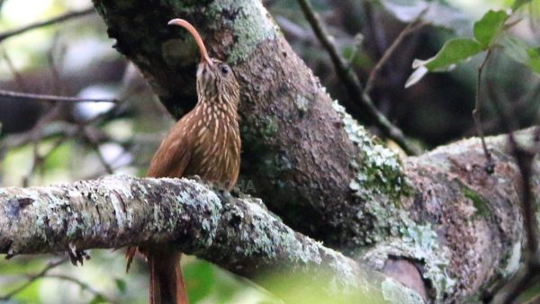 Costa Rica: Brown-billed Scythebill