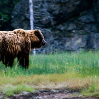 brown_bear