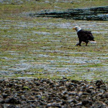 America Bald Eagle