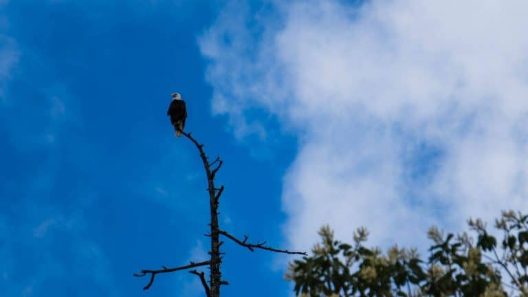 Watchful Eagle