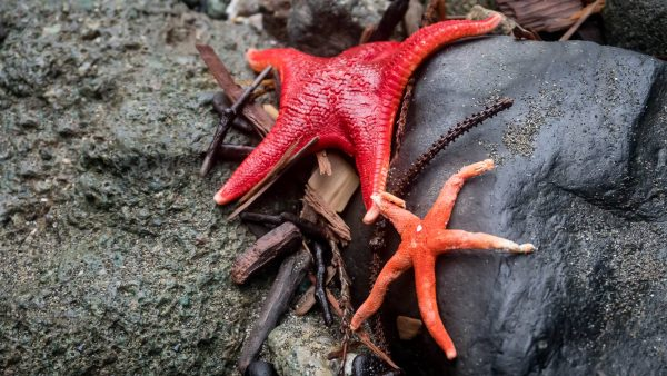 Despite Goo Disease Sea Stars Making Comeback