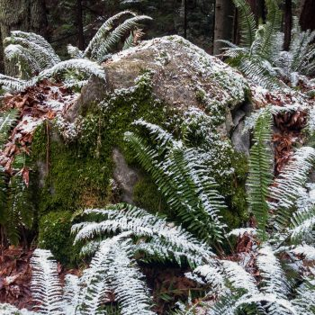 Snow-Ferns
