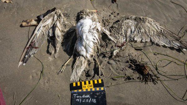 First Beach Cast Bird Found