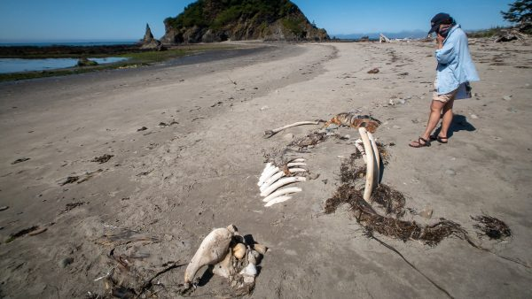 Gray Whale Skeleton at Strawberry Point