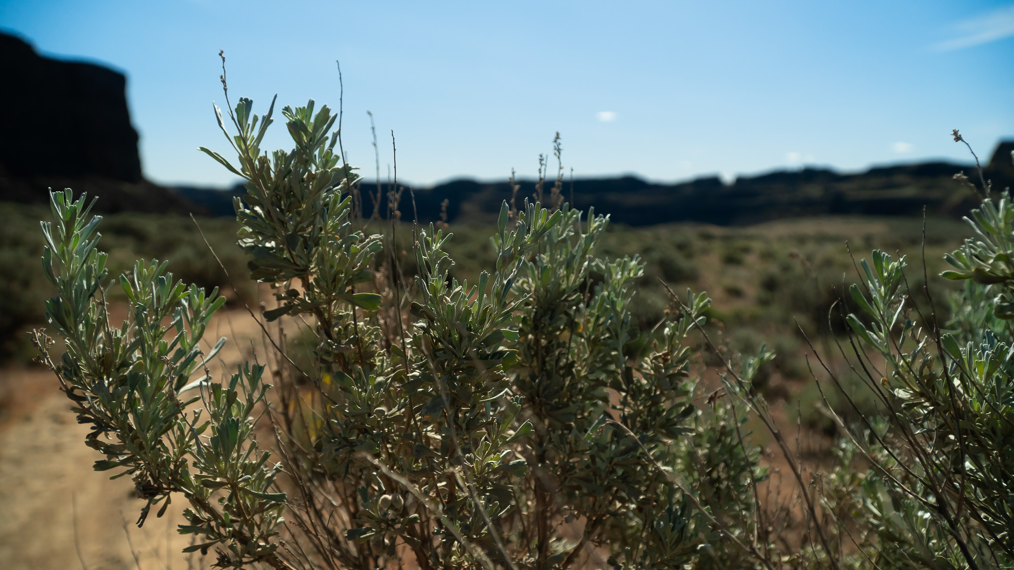 Big sagebrush (Artemisia tridentata) was found every where but made a nice change from the foliage we're normally accustom too.
