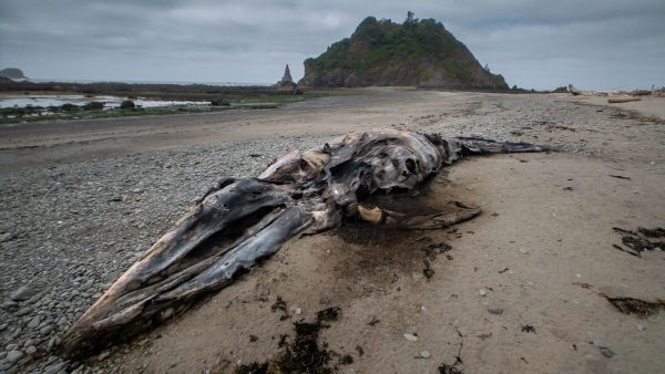 Decomposing Gray Whale