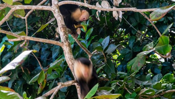 Costa Rica: White-faced Capuchin