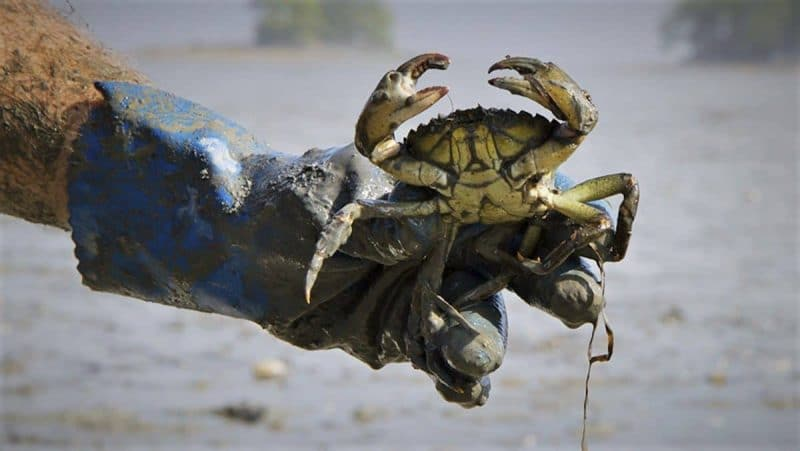 Training to Identify Invasive and Devastating Green Crab