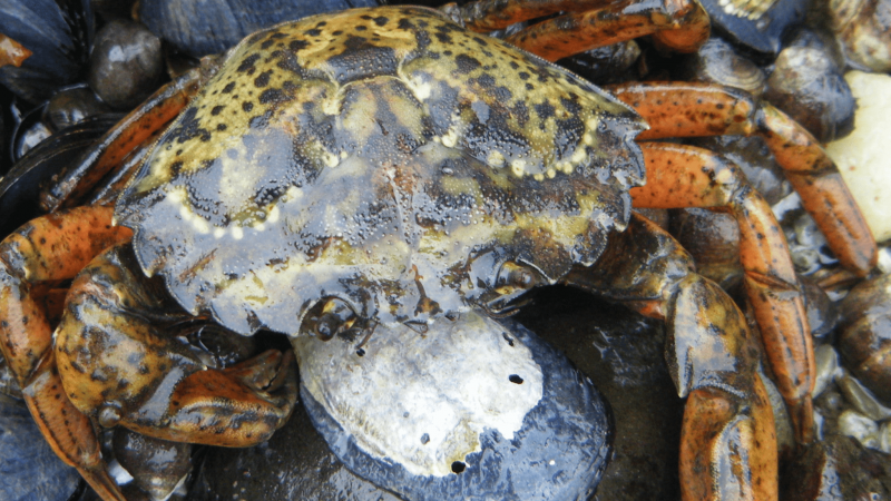 Do You Know Where Your Green Crabs Are Sleeping?